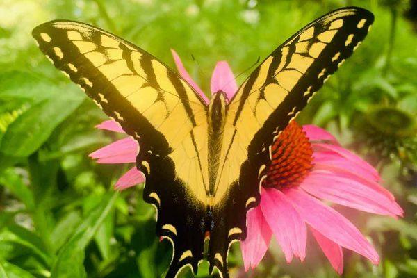 Himmel-Butterfly-127