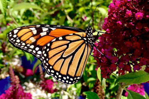Himmel-Butterfly-131
