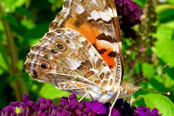 Himmel-Butterfly-134