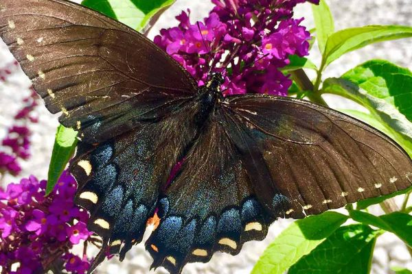Himmel-Butterfly-140