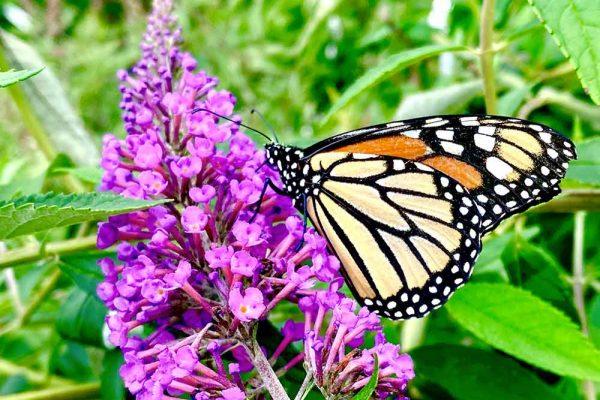 Himmel-Butterfly-200