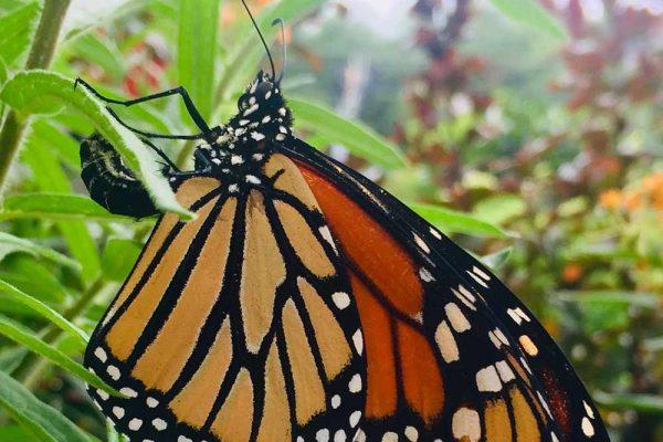 Himmel-Butterfly-310