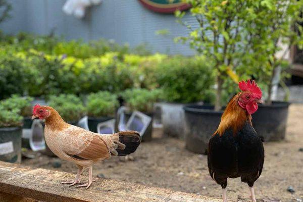 Himmel-Chickens-305